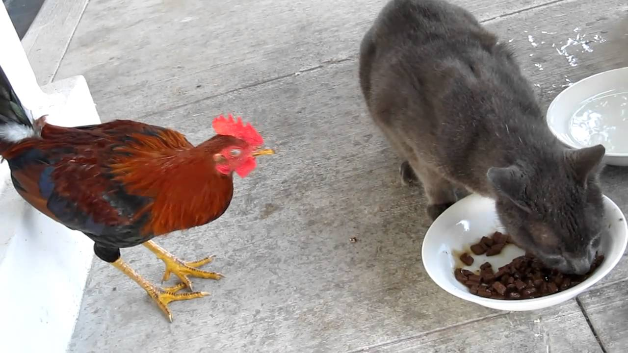 Rooster-and-cat-1