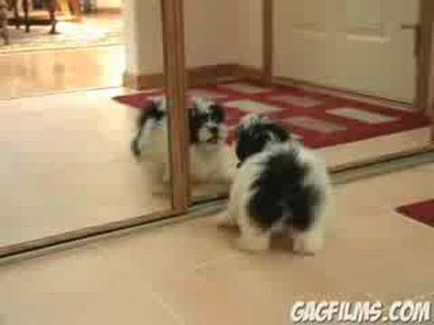Puppy-vs.-Mirror